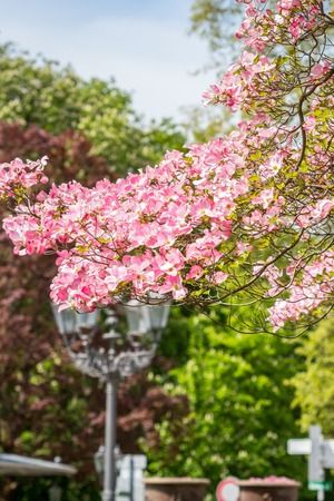 obscured: Close up of long branches of pink and white blossoms on tree with obscured background Stock Photo