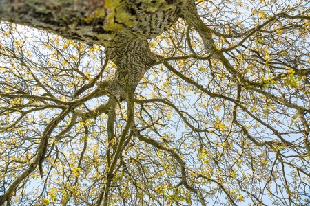 gnarled: Bottom up view of tall tree with gnarled branches and small leaves with bright sunny background Stock Photo
