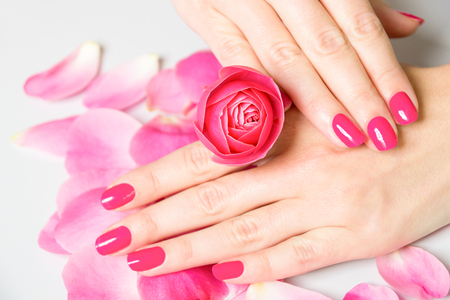 manicure: Close Up of Female Hands Wearing Bright Pink Polish on Nails and Holding Small Rose with Scattered Rose Petals on White Surface in Background - Spa Manicure Detail Stock Photo