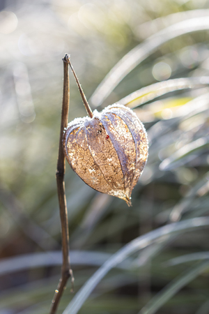 frailty: Single Dried husk for Inca berry plant standing in field with sunlight reflecting through its veins Stock Photo
