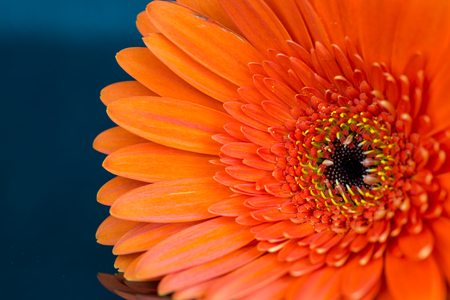 barberton daisy: Macro view on orange colored flower with oval shaped petals and yellow stamen over blue background