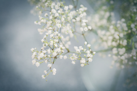 Branch of gypsophila white flowers in close up view