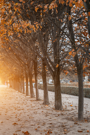 Row of trees along a pedestrian walkway in a park in autumn in Paris, France lit by a warm glow from the sun with colorful yellow leaves