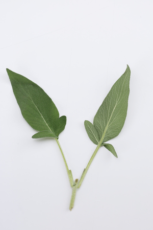 fresh healthy sage on white table  closeup view from above  Stock Photo