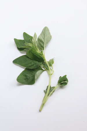 Sprig of fresh aromatic leaves of the potherb sage for seasoning and flavoring in cooking on white with copy space