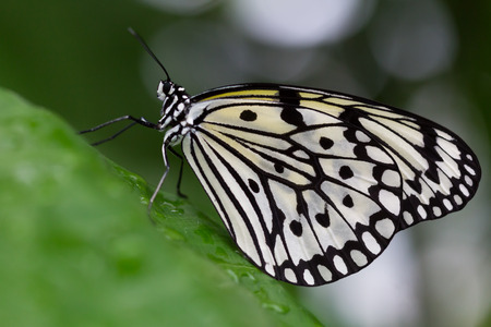Black and white Idea species butterfly, or Paper Kite, perched on a metal window frame in a close up view Imagens