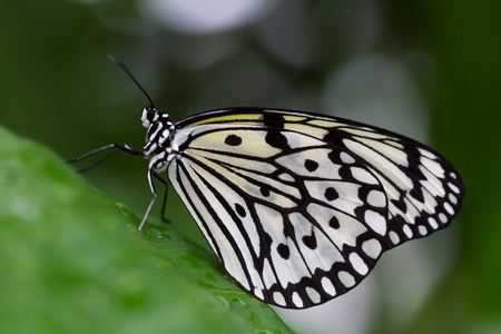Black and white Idea species butterfly, or Paper Kite, perched on a metal window frame in a close up view Stock fotó