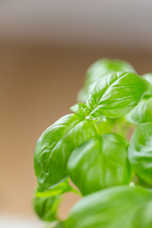 Close up on the leaves of fresh green basil growing in a pot for use as a culinary herb and garnish 写真素材 - 120877392