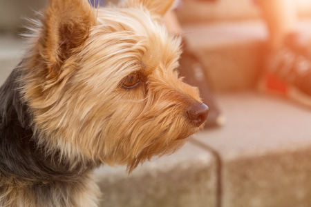 Head of yorkshire terrier in profile close-up portrait with copy space, walking outdoors near the stairs blurred in background. Curiously looking away