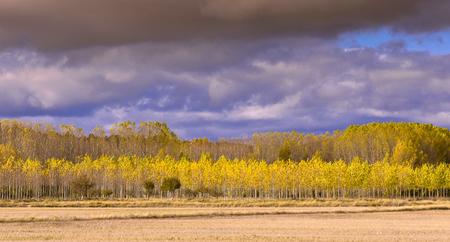 Faraway forest of poplars in autumn time Foto de archivo