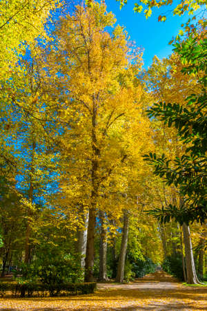 Huge specimens of the plane tree form a beautiful autumn image with yellow and gold colors