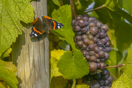 Vineyard and viticulture in Alsace. East of France