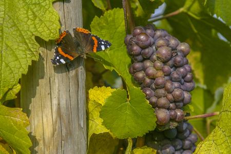 Weinberg und Weinbau im Elsass . Osten von Frankreich Standard-Bild - 83524889