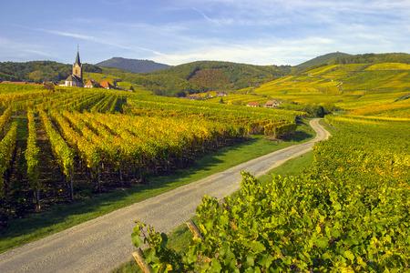 Wijngaard en wijnbouw in de Elzas. Oosten van Frankrijk Stockfoto