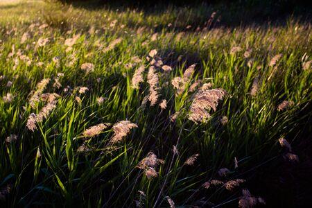 reeds at sunset on a spring day. Spain. Tablas de Daimiel National Park. Banque d'images