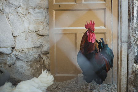 Corral with ecological chickens and roosters Standard-Bild