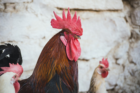 Corral with ecological chickens and roosters Stock Photo