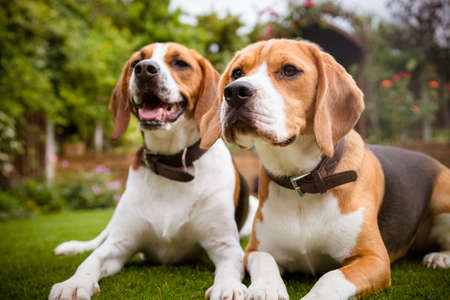 two beagles laying down on grass Stock Photo
