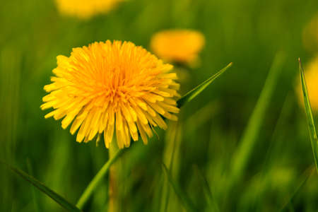 dandelion flower isolated against green grass Stock Photo