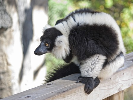 A black and white ruffed lemur at the zoo