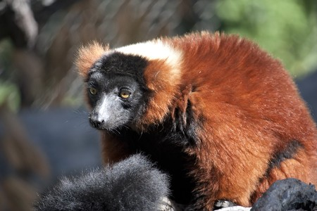 A red ruffed lemur at the zoo