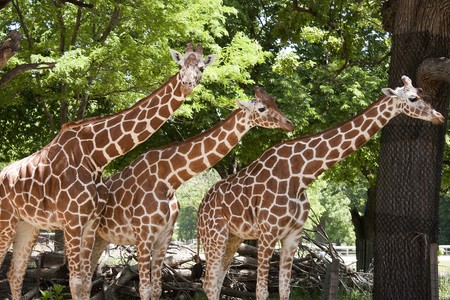 Three giraffes standing in a line at the zoo