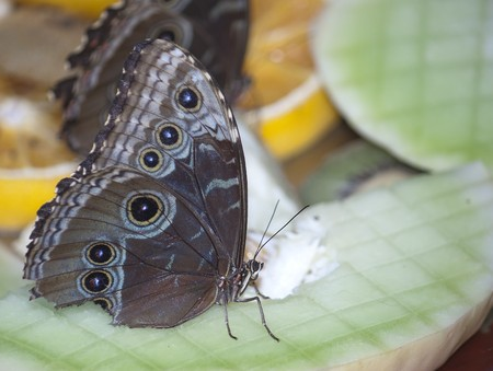 A buckeye butterfly eating sitting on some fruit