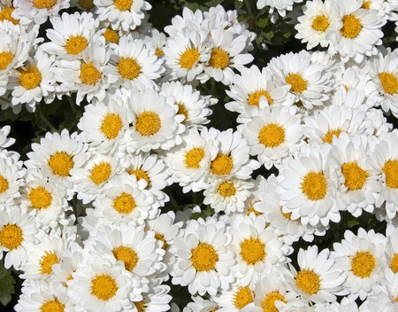 Close up of white and yellow chrysanthemums Stok Fotoğraf
