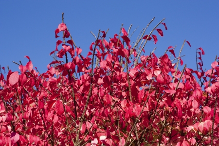 Close-up of a Burning Bush with the blue sky in the background Stok Fotoğraf