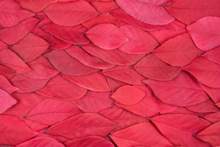 A background of red leaves from a burning bush
