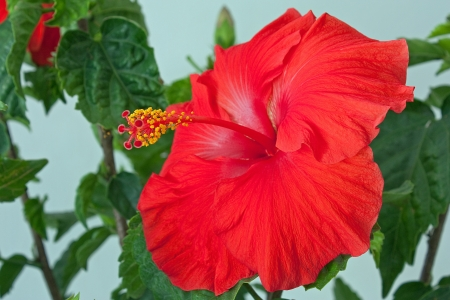 Close-up of a blooming flower on a Hibiscus tree