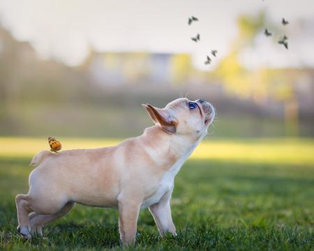 Papillons avec un chiot bouledogue français