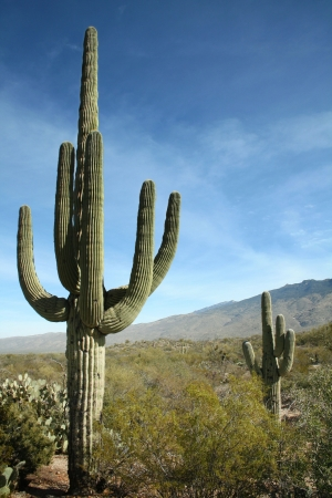 sonora: Giant Saguaro Cactus, Saguaro National Park, Sonoran Desert, Tucson, Arizona Stock Photo