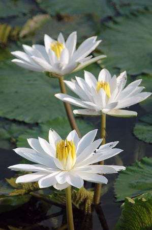 2 water lilies in a cluttered pond Stock Photo