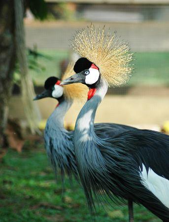 Uccelli esotici con corona Archivio Fotografico - 351169