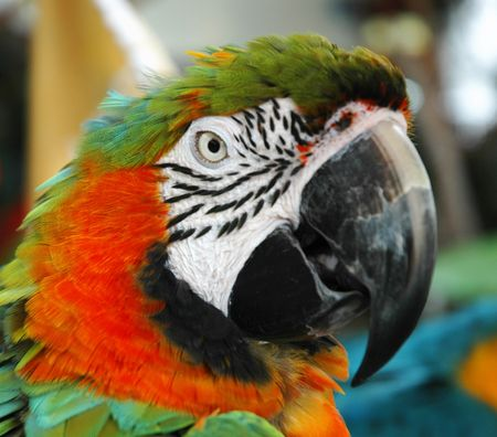Closeup - Parrot Banque d'images