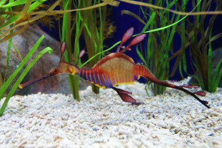 exotic fish: Pesci Esotici - Drago Del Mare Archivio Fotografico