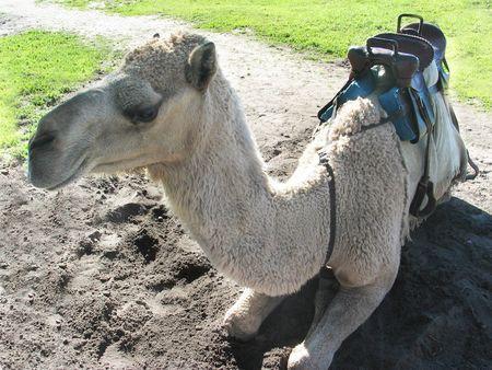 saddle camel: Camel sitting on ground