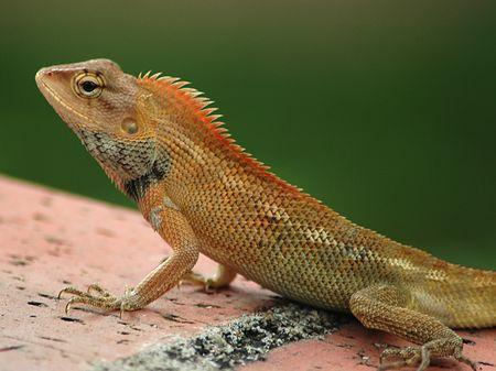 Closeup wspólnego Drzewo Lizard