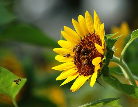 Busy Bee working on Sunflower Stock Photo - 351061