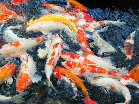 koi pond: Feeding time at the Koi Pond Stock Photo