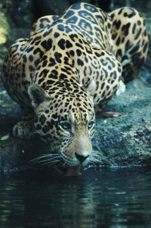 Jaguar drinking from the river in South America