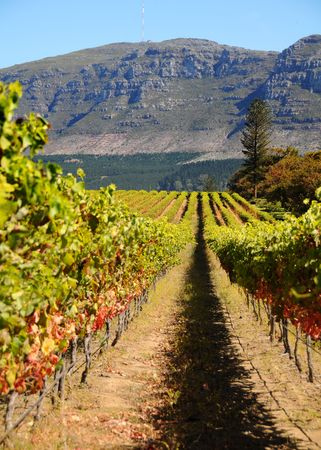 Vineyard in Cape Town with Mountain at the back