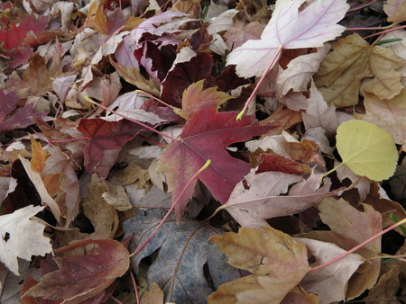 aspen leaf: Ground covered in autumn leaves Stock Photo