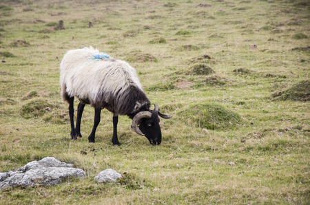 a sheep of the mountains photo
