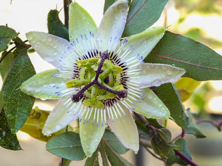 passion flower passion flower Banque d'images