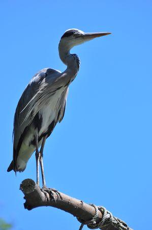 gray herons: Grey heron sitting on a branch Stock Photo