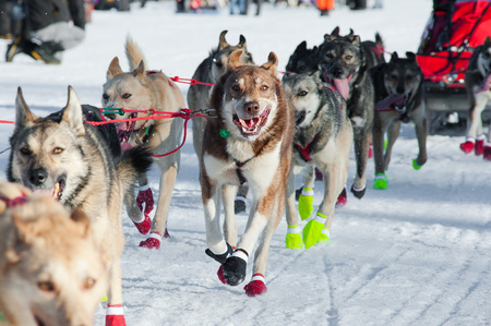 Husky mix sled dogs running in the iditarod sled dog race. Stock Photo