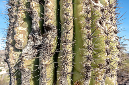 A close up photo of a very pointy cactus