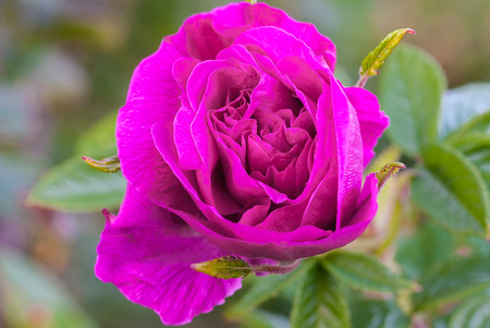 A cultivated purple rose from a garden.